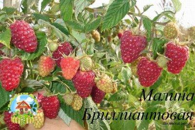 malina-brilliantovaya
