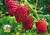 malina-taganka